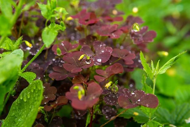 雨の間に他のさまざまな草が茂った植生の中でカタバミの赤い葉がクローズアップ