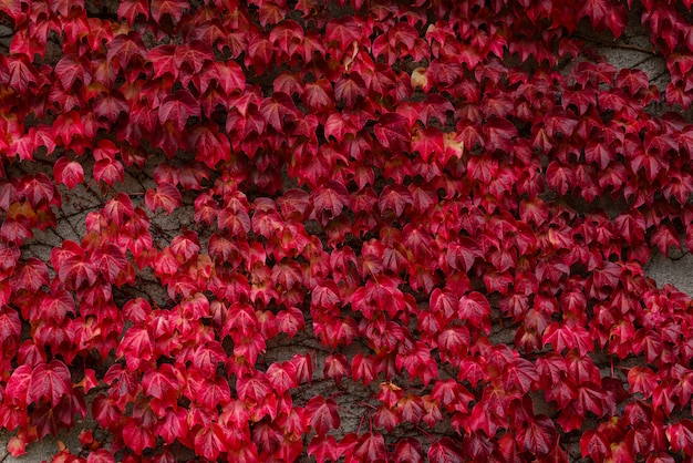 Red leaves of wild grapes decorated the wall