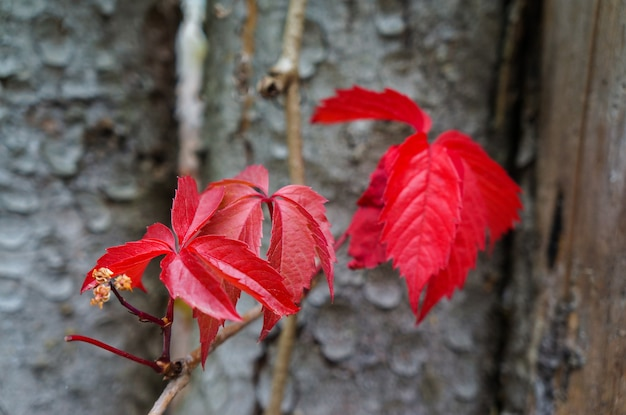 Red leaves of wild grapes in the fall