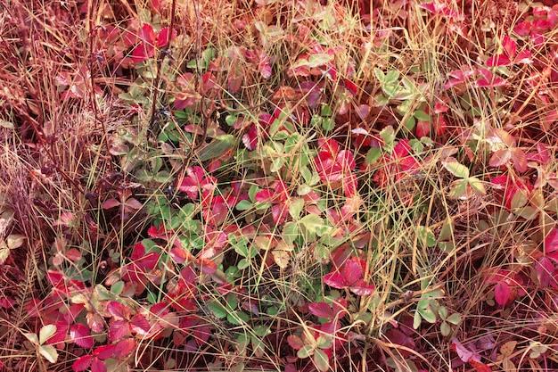 Красные листья земляники