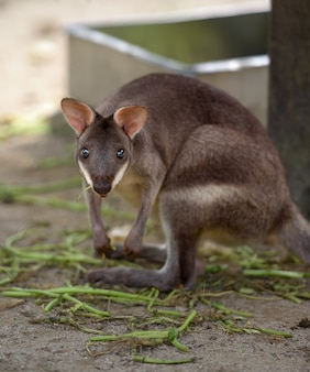 Red-legged pademelon (small kangaroo variety) stares at camera with zoo as background