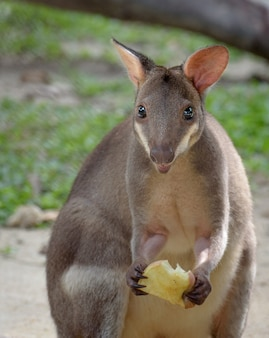 Red-legged pademelon (small kangaroo variety) with food in its hand, closeup portrait