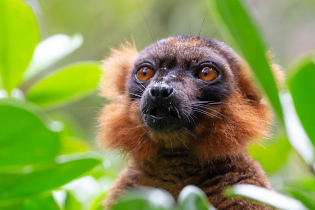Red lemur in grass close up