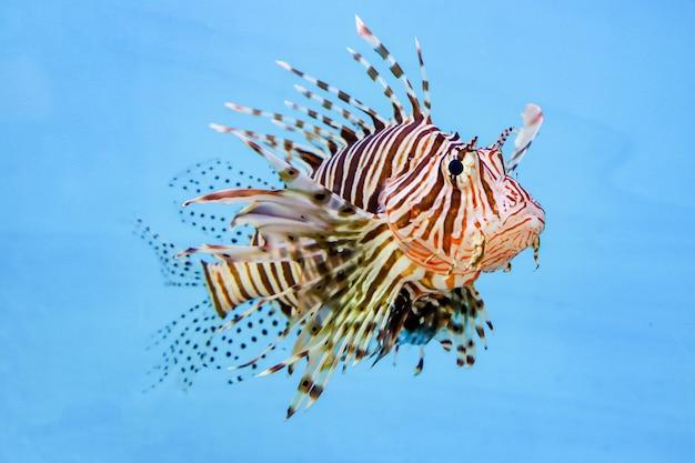 青い背景の水中の赤いライオンの魚