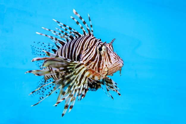 Red lion fish in water on blue background