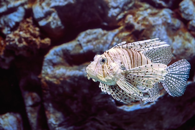 Red lionfish or pterois volitans this almond-shaped fish is covered in red and white zebra striping, and has long, elaborate fins and venomous spines.