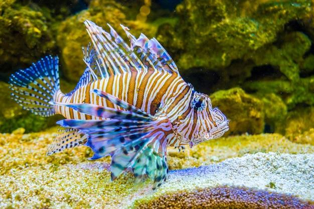 Red lionfish pterois volitans . wild life animal.