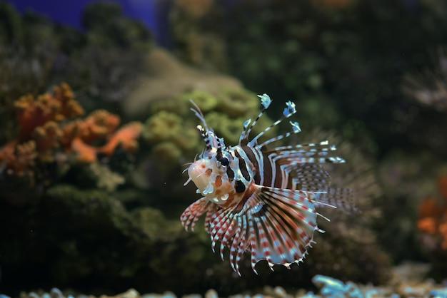 Красный крылатка плавает в коралловом рифе