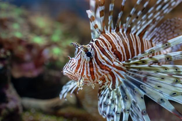 サンゴ礁で泳ぐ赤いミノカサゴ