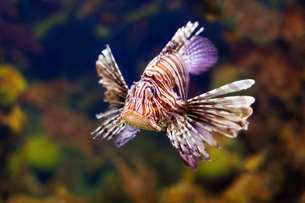 Red lionfish in water
