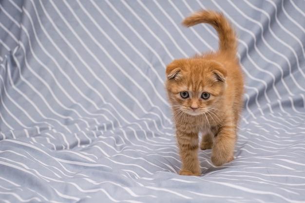 Red lop-eared cat breed scottish fold walks