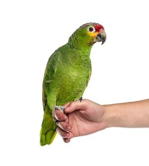 Красная амазонка на руке человека