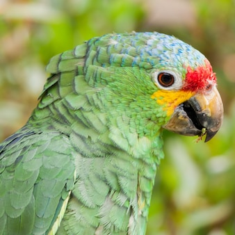 Red lored amazon parrot (amazona autumnalis),