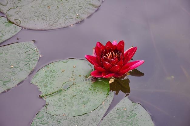 池のクローズアップの赤い蓮