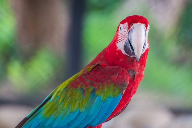 Red macaw sitting on branch and look at visitors with blur background
