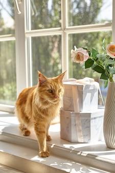 赤いメインクーン猫が窓辺を歩く Premium写真