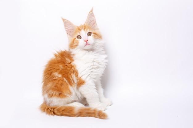分離された赤いメインクーン子猫