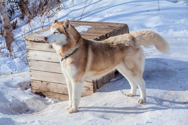 겨울에 개를위한 보육원에서 붉은 malamute