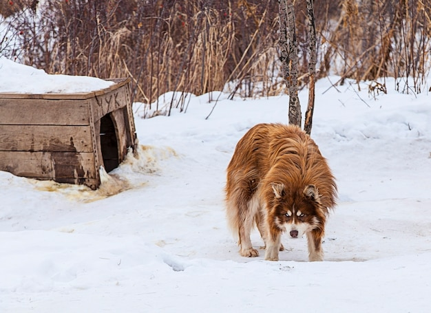 Красный маламут в питомнике для собак зимой