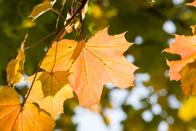 Red maple foliage in the autumn