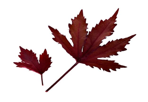 孤立した秋の天気のアイコンとしての季節をテーマにしたコンセプトとしての秋のシンボルとしての赤いカエデの葉