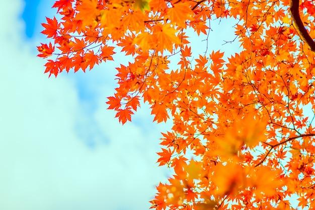 Autumシーズン中赤カエデの葉