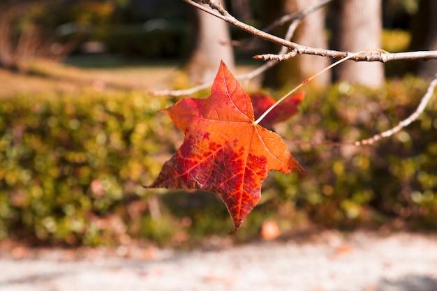 枝の赤いカエデの葉、秋。 10月。日本のカエデの枝のクローズアップ。秋のカエデの葉。