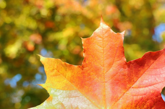 Red maple leaf with blurred of colorful tree leaves background.