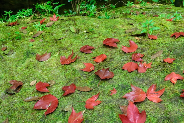 Red maple leaft and green moss in the forest