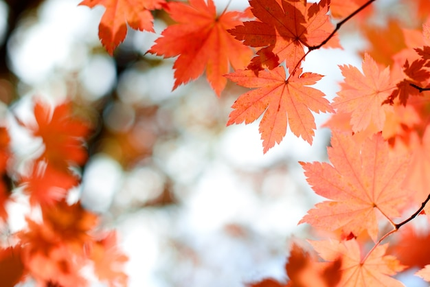 Red maple leaves in autumn forest with blurred background