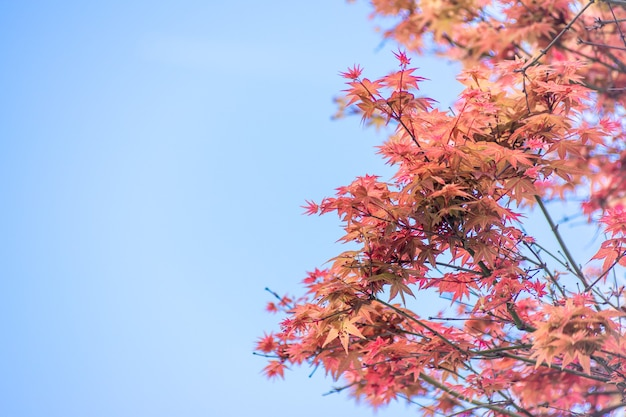 Red maple leaves in autumn season with sky blurred background, taken from japan.