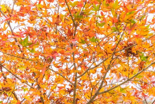Red maple leaves blooming at arashiyama