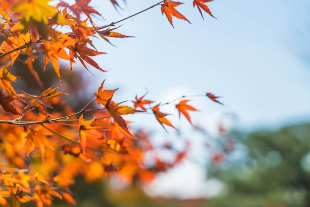 Red maple leaves blooming at park in kyoto