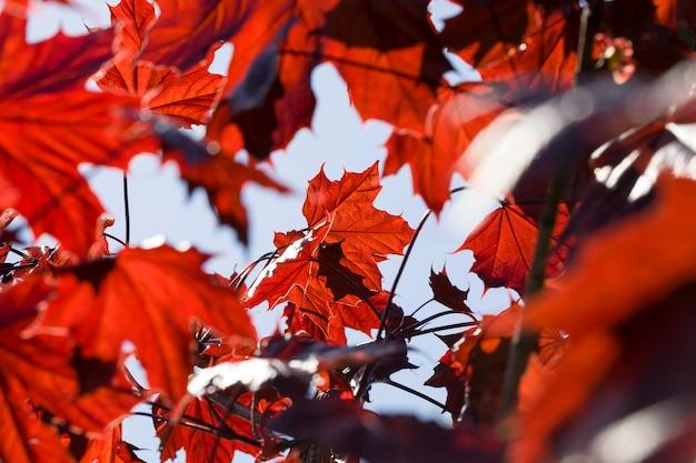 Красные кленовые листья весной