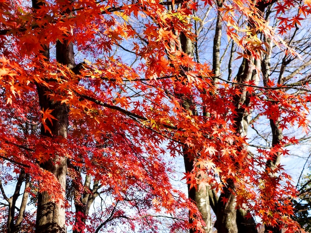 Red maple leaves on the maple tree in the autumn