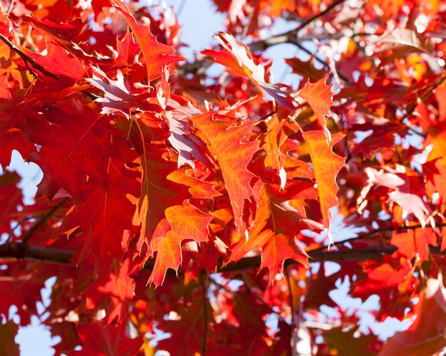 Красные кленовые листья на молодых кленовых ветвях