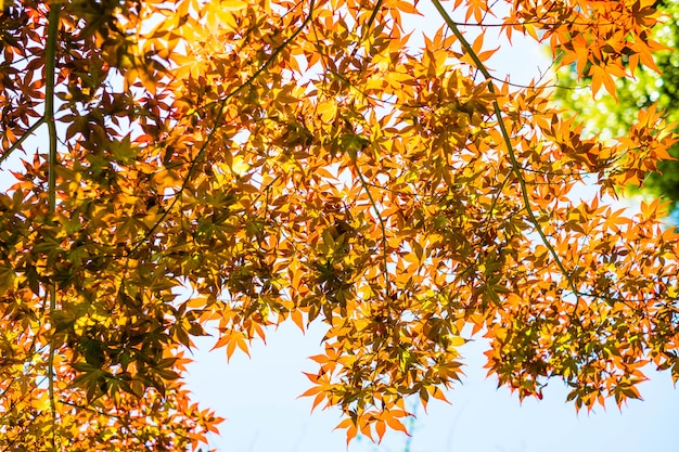 Red maple leaves with blue sky blurred, taken from japan.