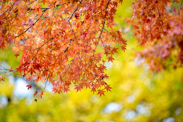 Red maple leaves with blurred background. japan autumn season
