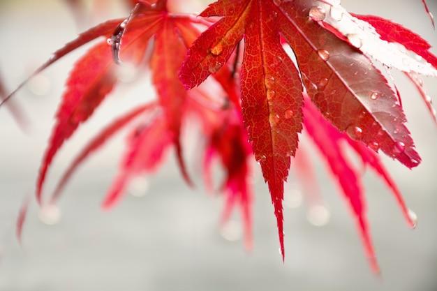 Красный клен оставляет осенние листья японского клена на сером фоне