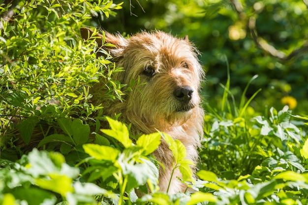 赤い雑種犬が緑の芝生で日陰で暑さを逃れる