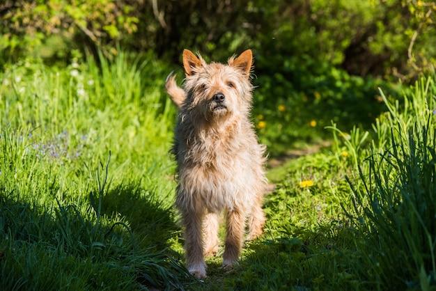 村の道の緑の芝生の上に立っている赤い雑種犬