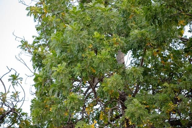 Red mombin tree of the species spondias purpurea