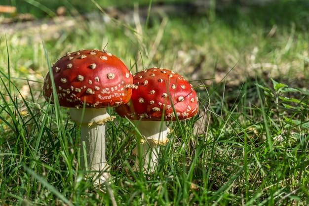 自然の中で赤いキノコ(テングタケ属)