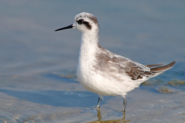Red-necked phalarope phalaropus lobatus beautiful birds of thailand