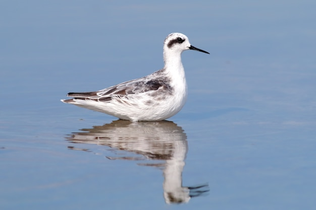 Red-necked phalarope phalaropus lobatus birds on the water reflection