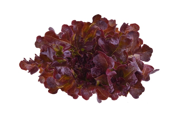 Салат красный дуб на белом фоне