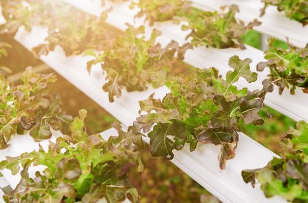 수경 농장에서 레드 오크 양상추 샐러드 야채.