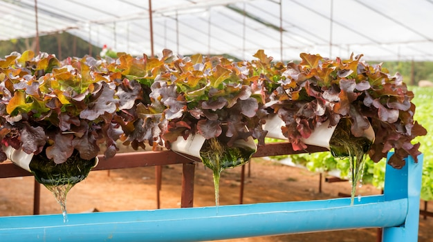 Red oak plant in a hydroponic vegetable garden.
