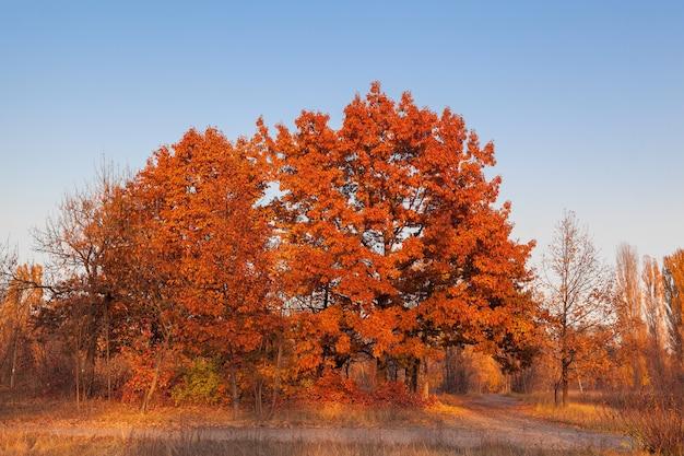 Красный дуб против голубого неба на лесной поляне.