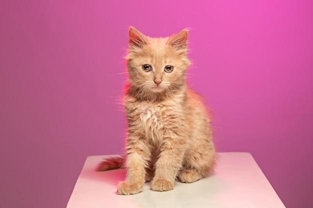 ピンクのスタジオの背景に赤または白の猫